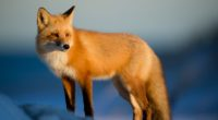 fox wild 4k 1546279518 200x110 - Fox Wild 4k - hd-wallpapers, fox wallpapers, animals wallpapers, 4k-wallpapers