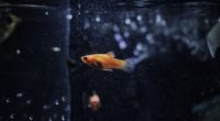 goldfish 4k 1546279438 200x110 - Goldfish 4k - hd-wallpapers, goldfish wallpapers, fish wallpapers, animals wallpapers, 4k-wallpapers