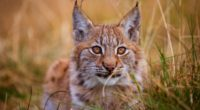 lynx 5k 1546279430 200x110 - Lynx 5k - lynx wallpapers, hd-wallpapers, animals wallpapers, 5k wallpapers, 4k-wallpapers