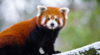 red panda 5k 1546279460 200x110 - Red Panda 5k - winter wallpapers, tree wallpapers, snow wallpapers, red panda wallpapers, photography wallpapers, panda wallpapers, hd-wallpapers, cute wallpapers, branch wallpapers, animals wallpapers, 5k wallpapers, 4k-wallpapers