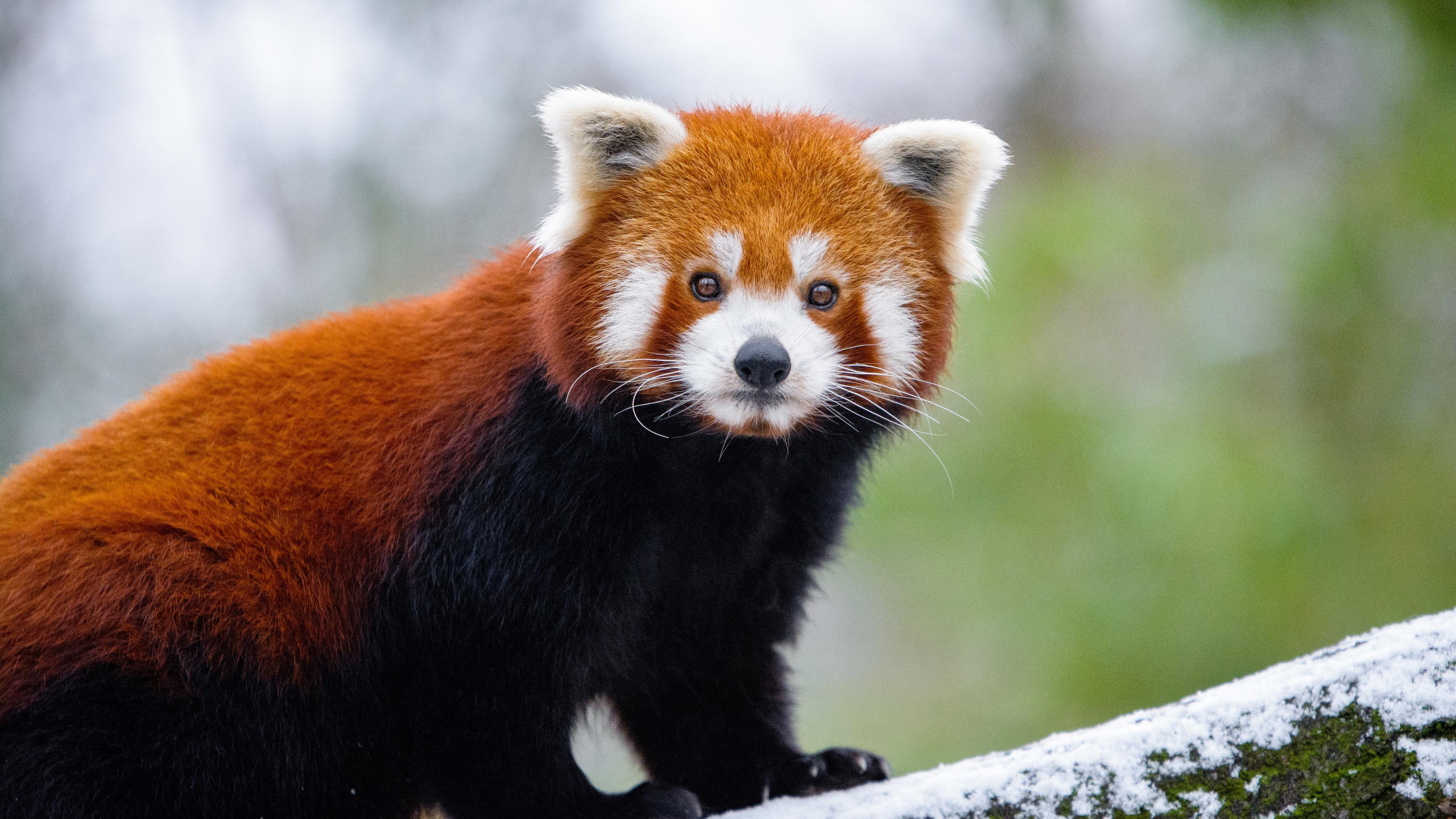 red panda 5k 1546279460 - Red Panda 5k - winter wallpapers, tree wallpapers, snow wallpapers, red panda wallpapers, photography wallpapers, panda wallpapers, hd-wallpapers, cute wallpapers, branch wallpapers, animals wallpapers, 5k wallpapers, 4k-wallpapers