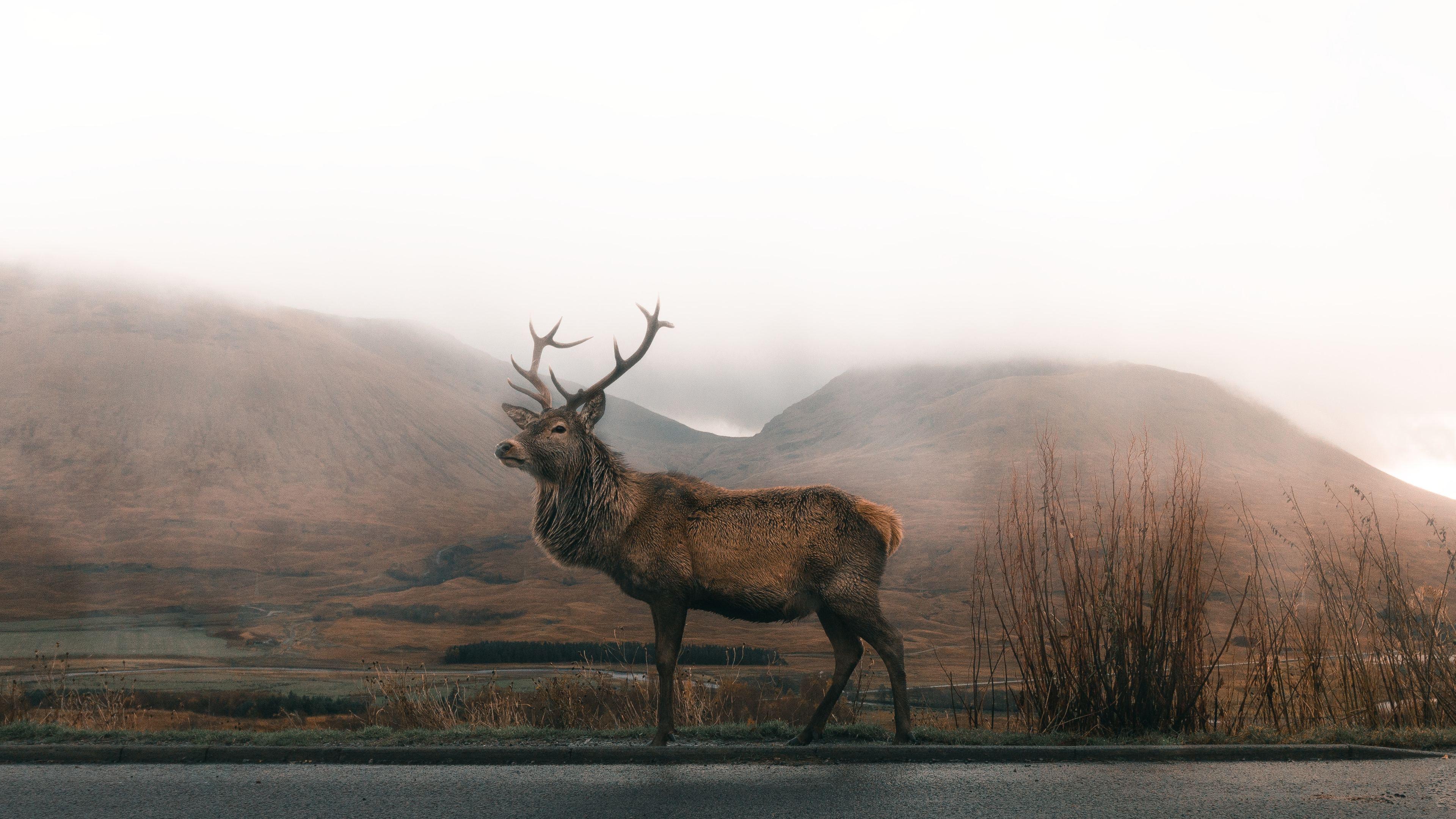 reindeer 4k 1546279495 - Reindeer 4k - reindeer wallpapers, photography wallpapers, hd-wallpapers, animals wallpapers, 4k-wallpapers