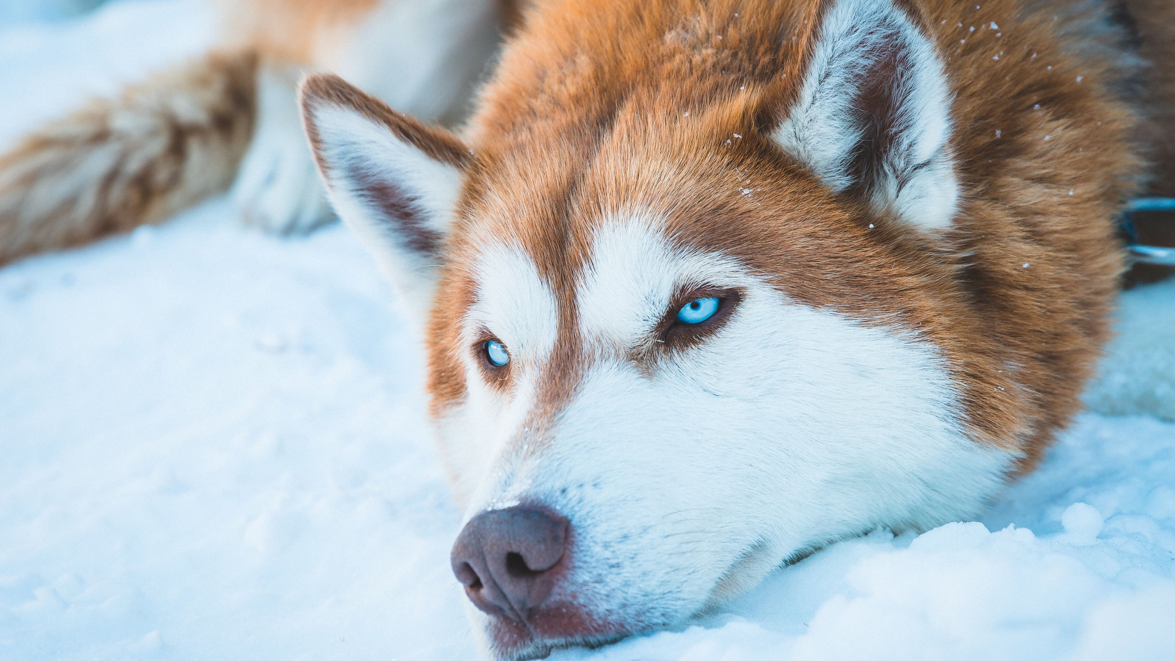 siberian husky in snow 4k 1546279473 - Siberian Husky In Snow 4k - siberian husky wallpapers, hd-wallpapers, dog wallpapers, animals wallpapers, 4k-wallpapers