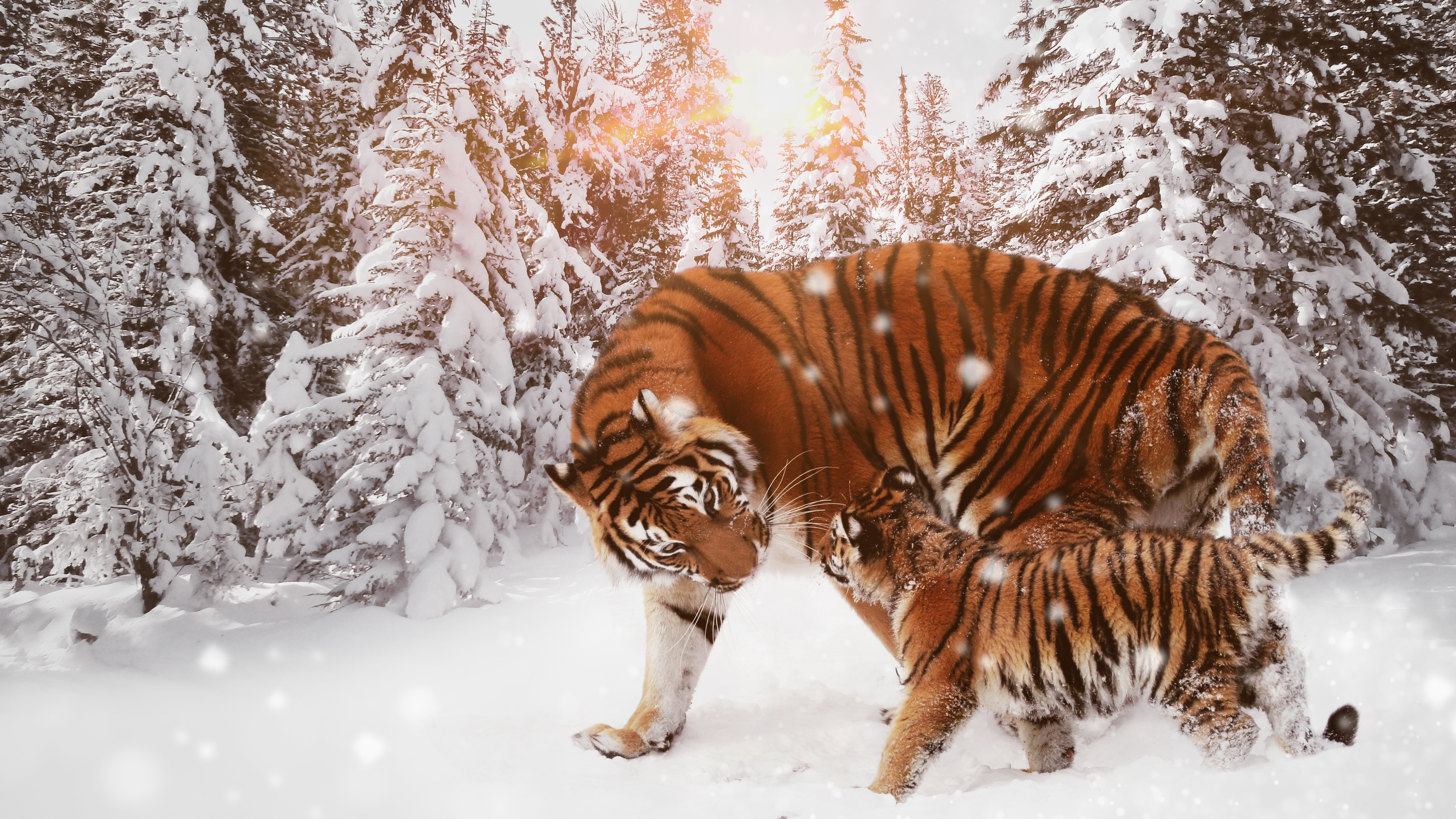 Wallpaper 4k Tiger With Cub 4k 4k Wallpapers 5k Wallpapers 8k Wallpapers Animals Wallpapers Cub Wallpapers Hd Wallpapers Snow Wallpapers Tiger Wallpapers Winter Wallpapers