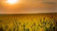 yellow green field during sunset 4k 1551643801 200x110 - Yellow Green Field During Sunset 4k - sunset wallpapers, photography wallpapers, nature wallpapers, hd-wallpapers, grass wallpapers, field wallpapers, 4k-wallpapers
