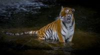 adult tiger 1574937967 200x110 - Adult Tiger -