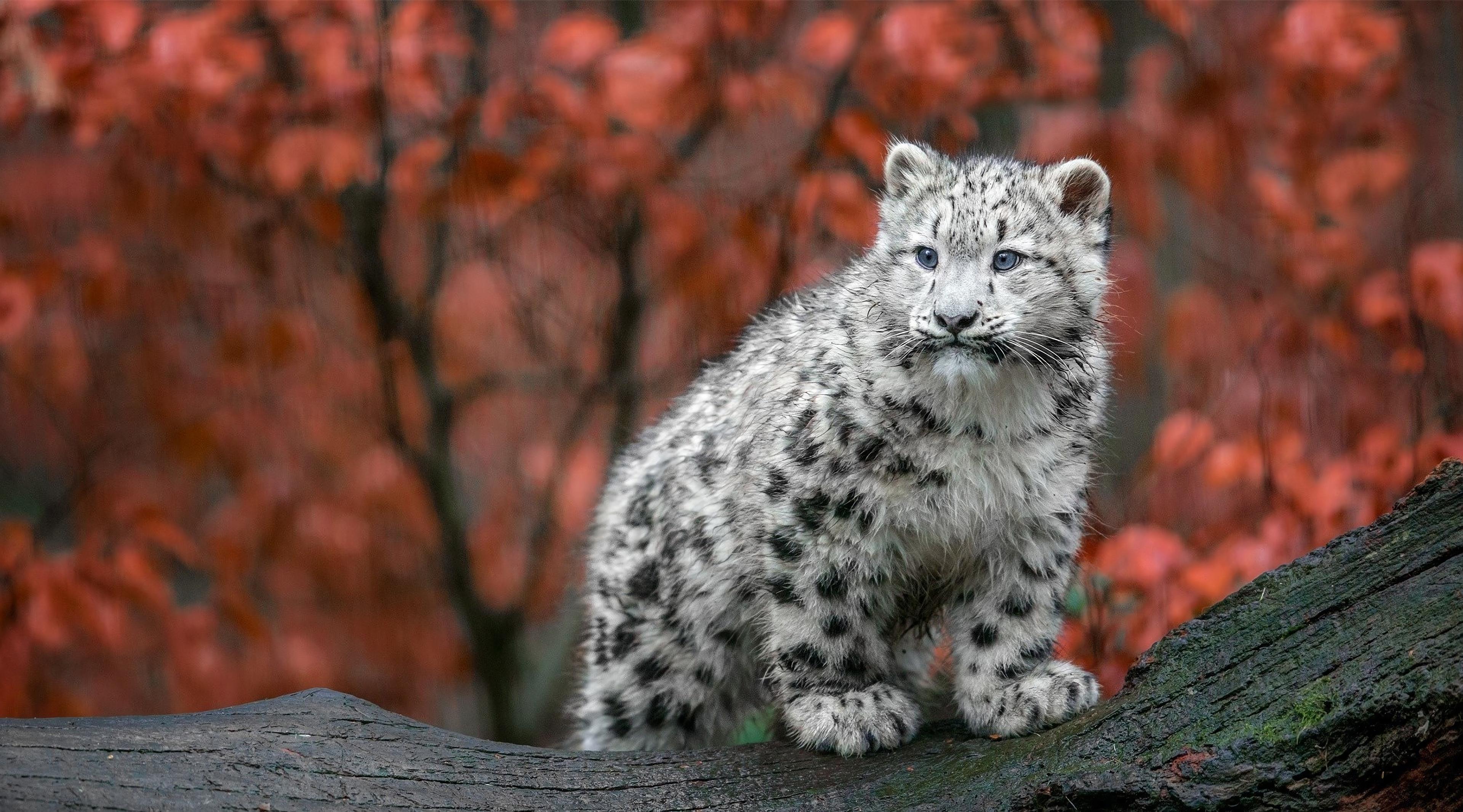 baby snow leopard 1574938133 - Baby Snow Leopard -