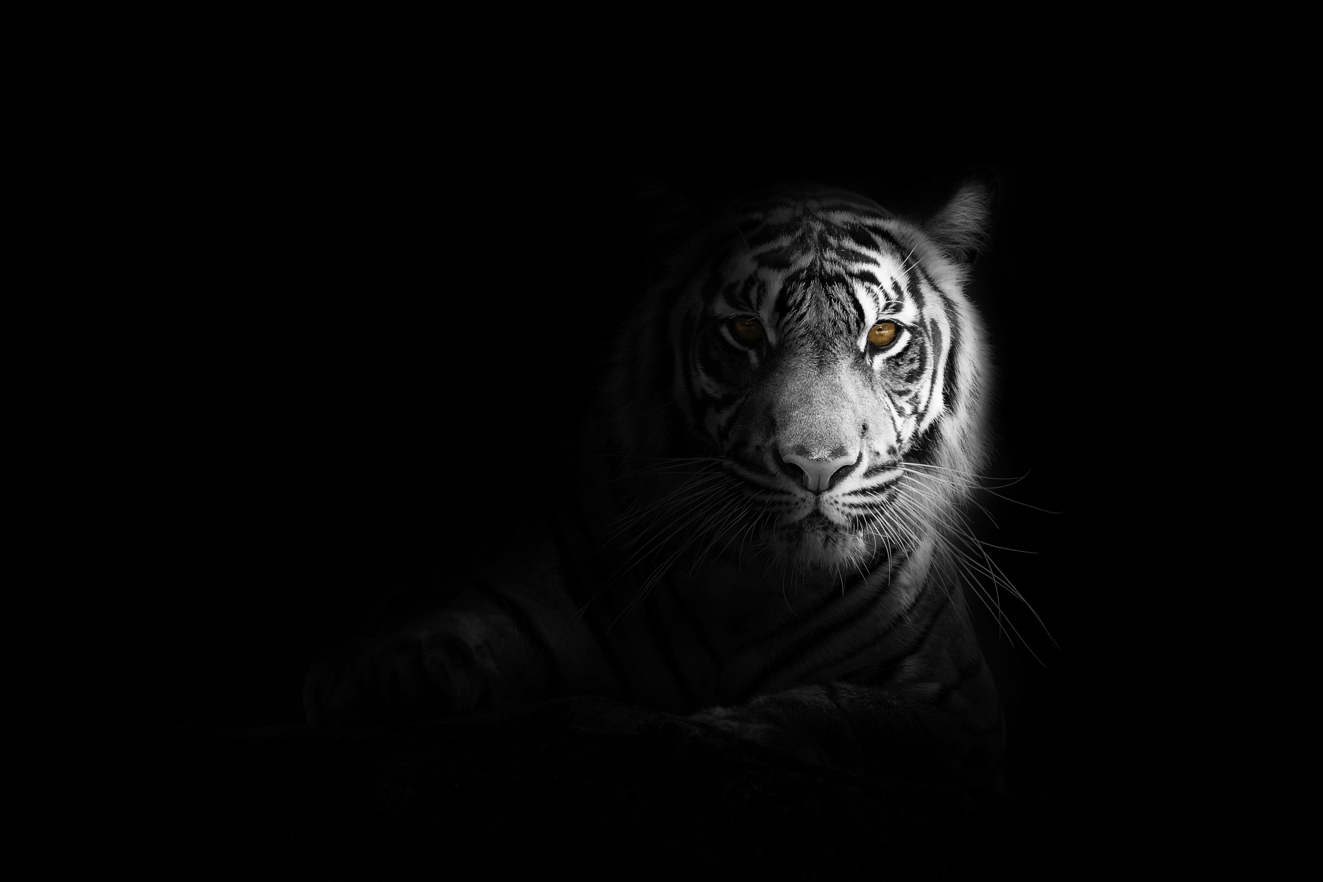 big cat tiger 1574938060 - Big Cat Tiger -