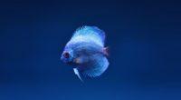 blue discus fish 1574938207 200x110 - Blue Discus Fish -