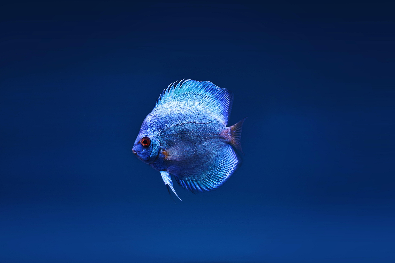 blue discus fish 1574938207 - Blue Discus Fish -