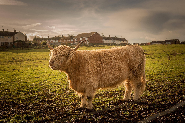 bull cattle cow 1574938205 - Bull Cattle Cow -