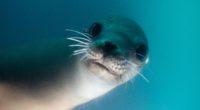 california sea lion 1574938029 200x110 - California Sea Lion -