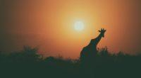 camel silhouette 1574937978 200x110 - Camel Silhouette -