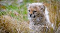 cheetah cub 1574937973 200x110 - Cheetah Cub -