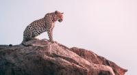 cheetah sight 1574938128 200x110 - Cheetah Sight -
