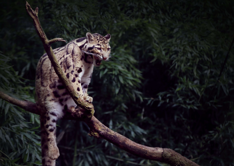 clouded leopard yawning 1574938012 - Clouded Leopard Yawning -