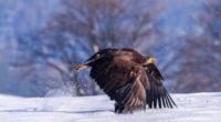 eagle in snow 1574939505 200x110 - Eagle In Snow -