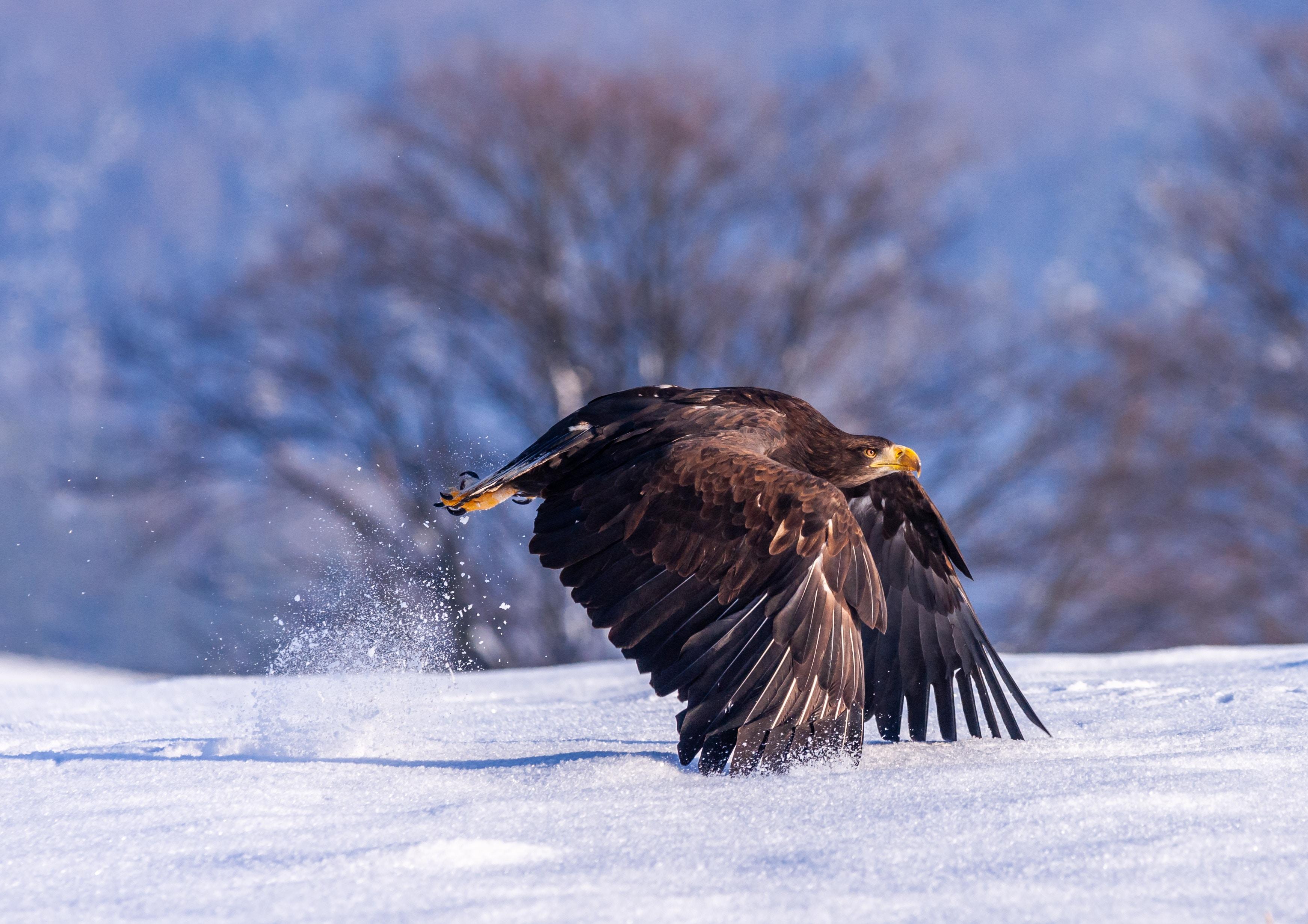 eagle in snow 1574939505 - Eagle In Snow -