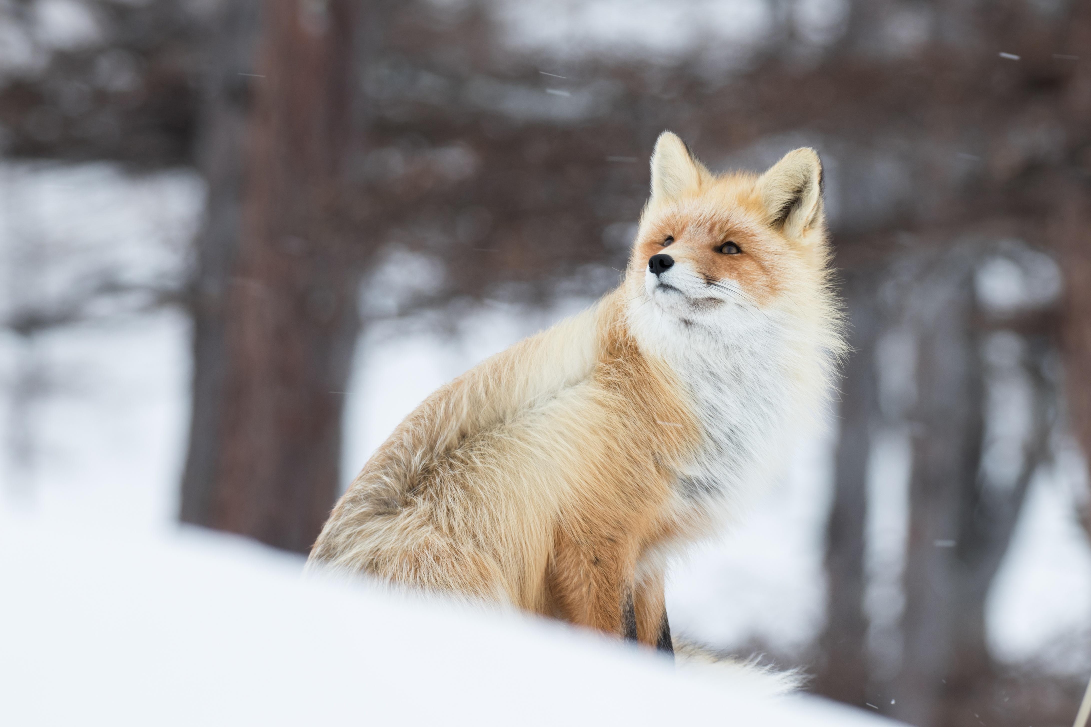 fox in snow 1574939442 - Fox In Snow -