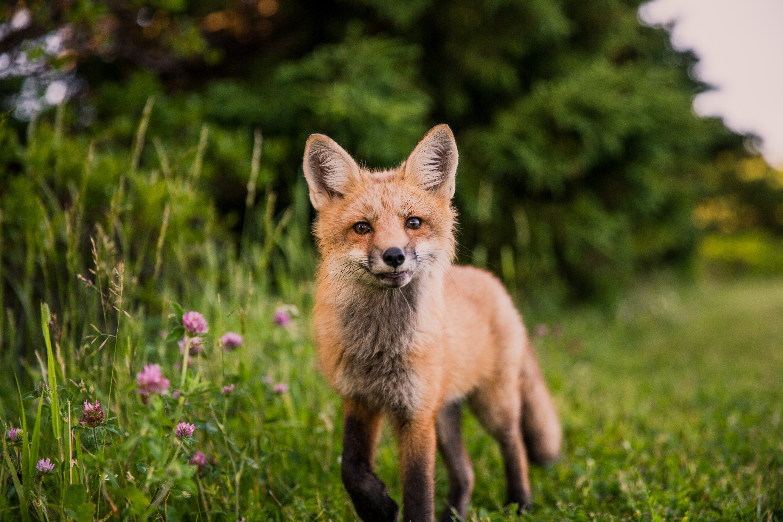 fox looking towards camera 1574938070 - Fox Looking Towards Camera -
