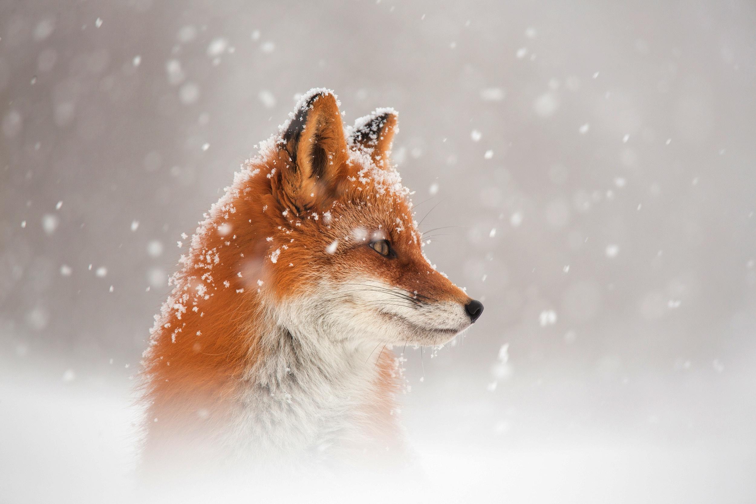 fox snow 1574939585 - Fox Snow -