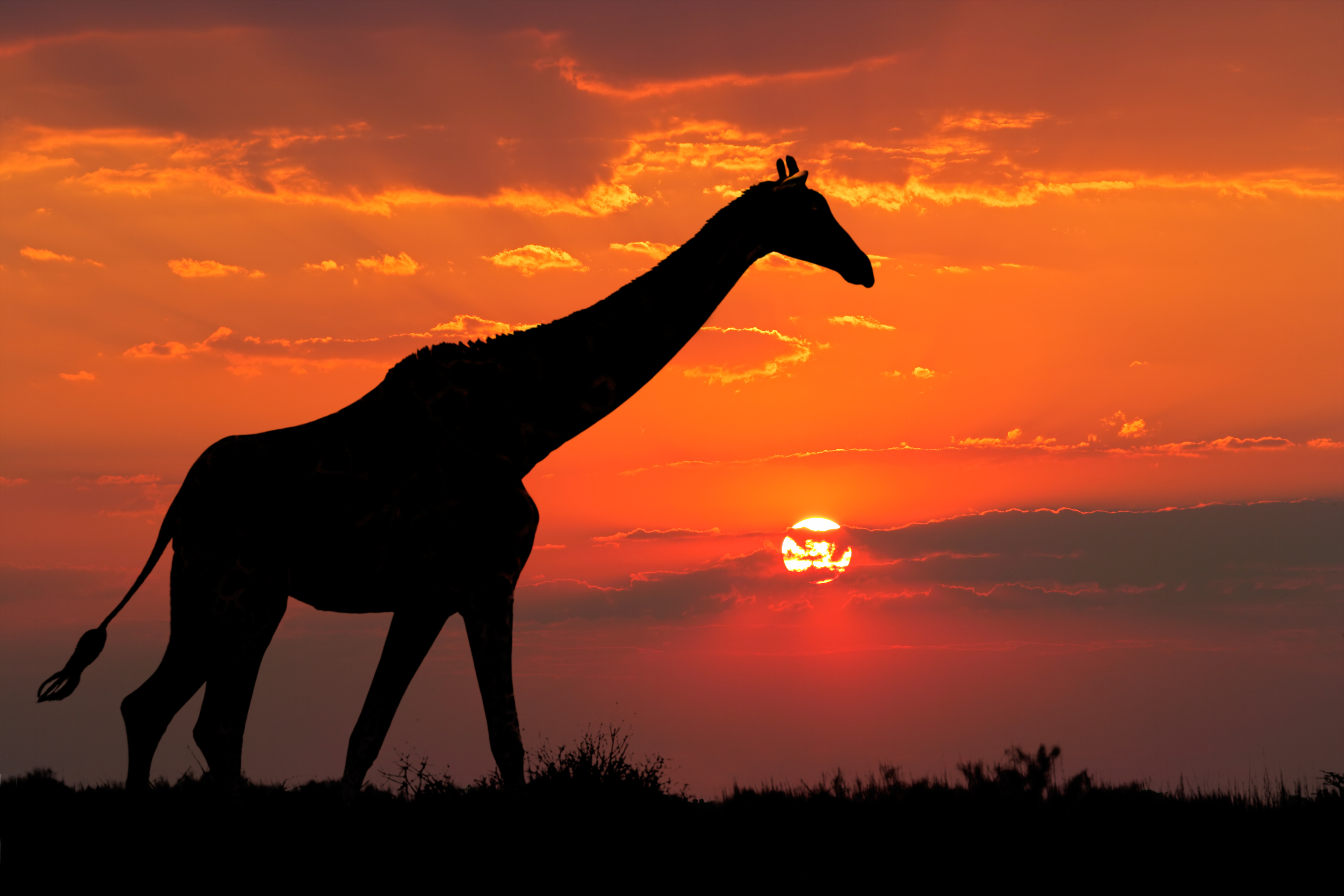 giraffe silhouette 1574938062 - Giraffe Silhouette -