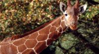 giraffee 1574938027 200x110 - Giraffee -