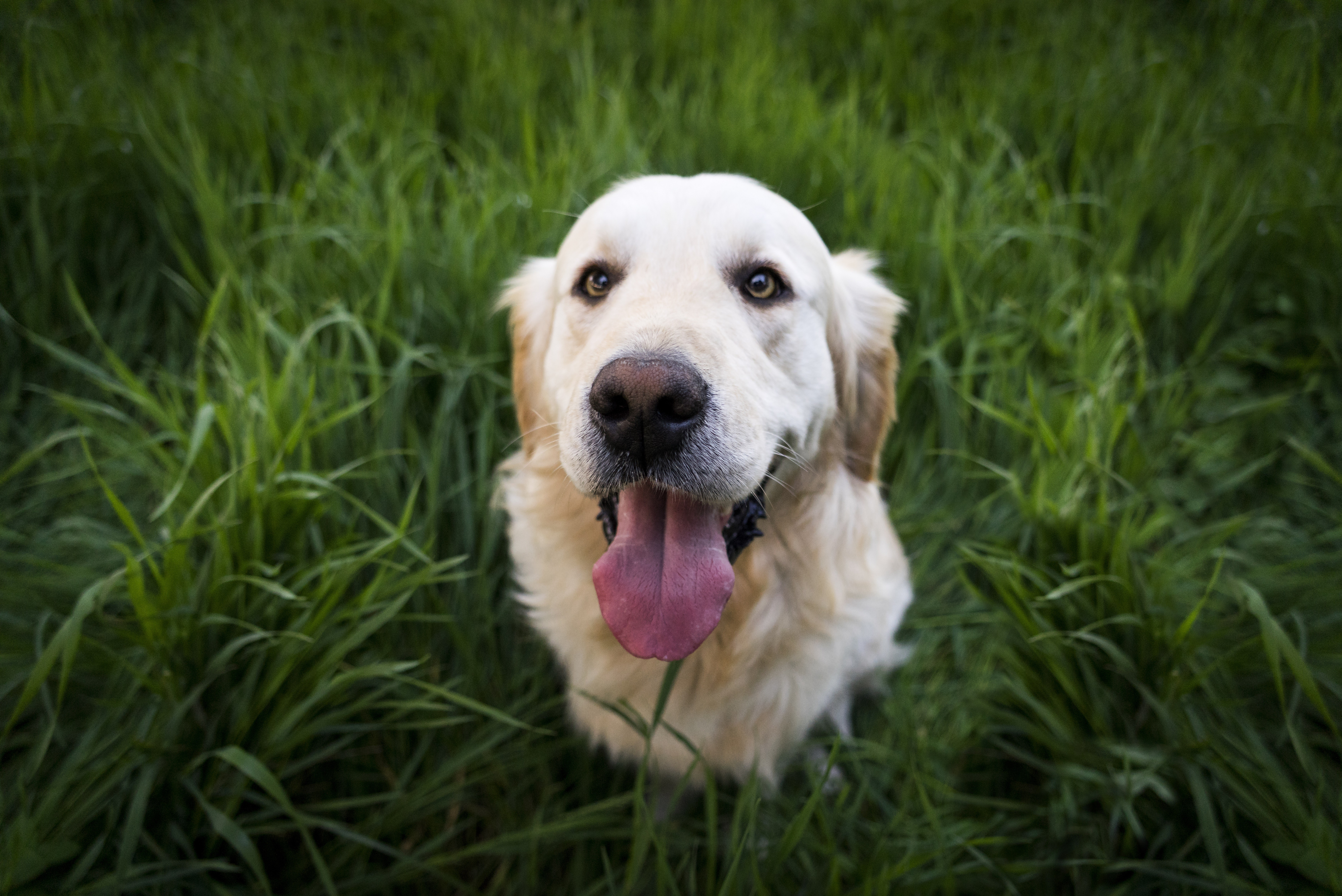 golden labrador retriever 1574938018 - Golden Labrador Retriever -