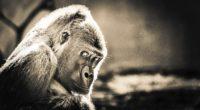 gorilla 1574938036 200x110 - Gorilla -