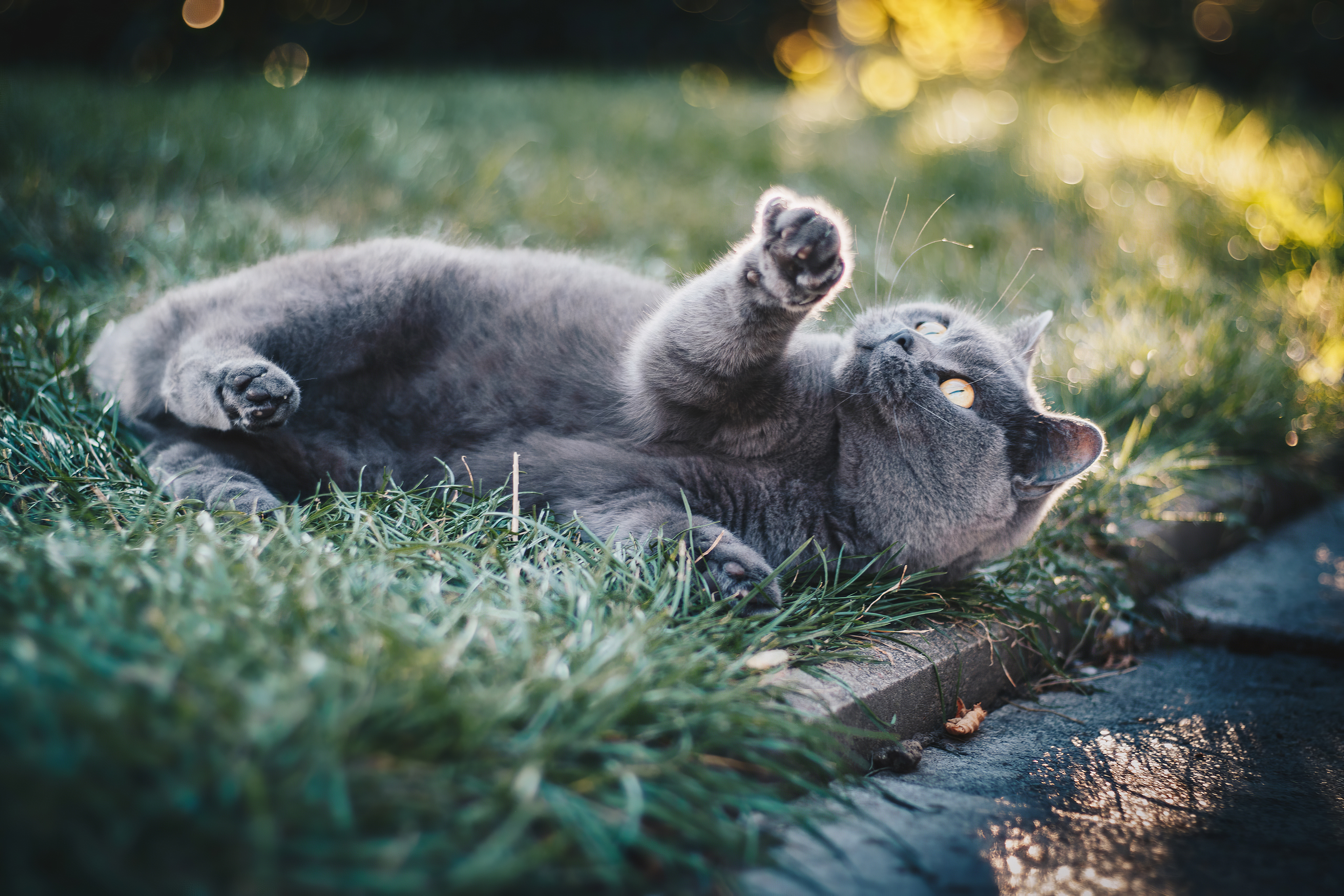 gray cat in grass 1574938198 - Gray Cat In Grass -