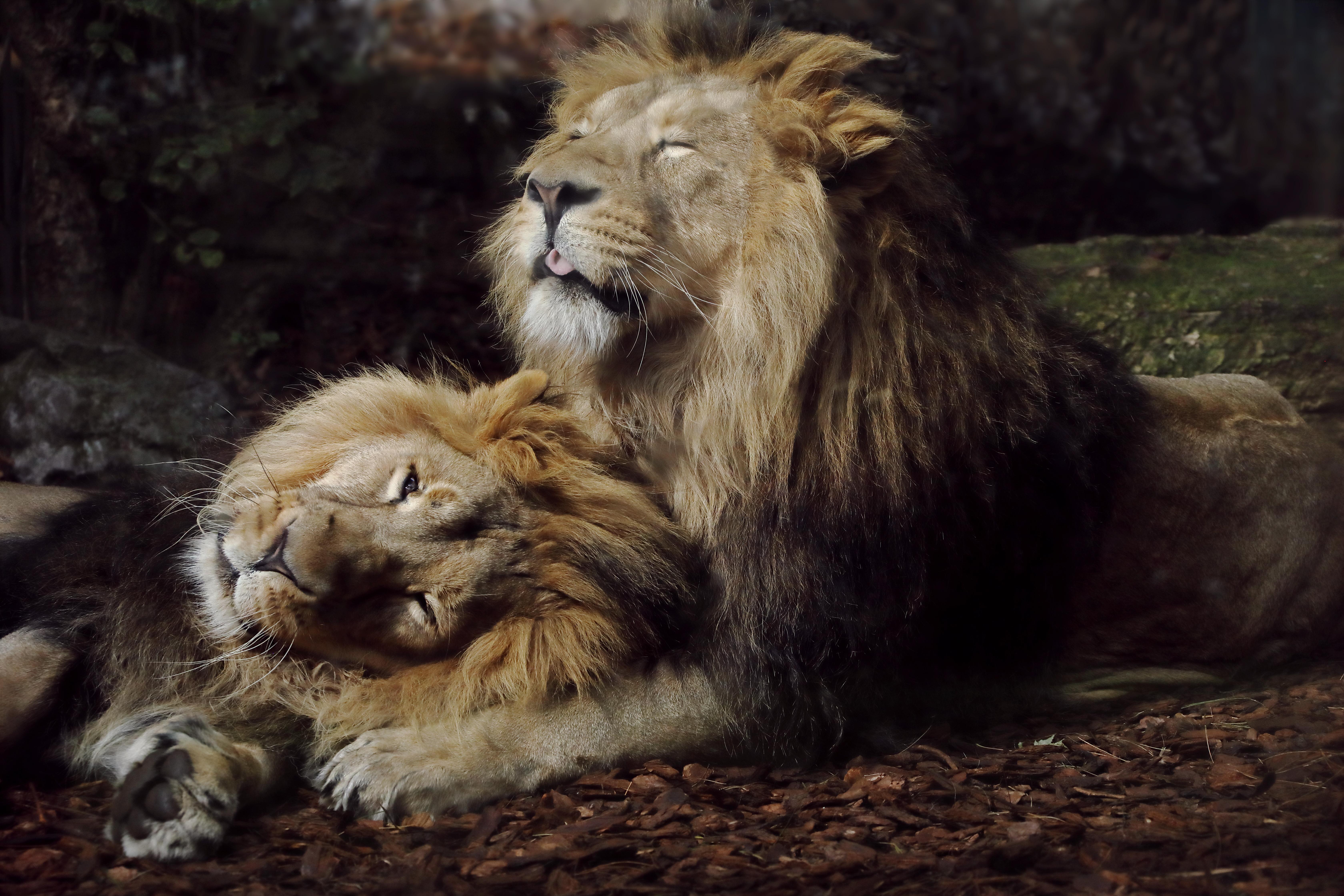joyful lions 1574938087 - Joyful Lions -