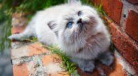 kitty blue eyes 1574938058 200x110 - Kitty Blue Eyes -