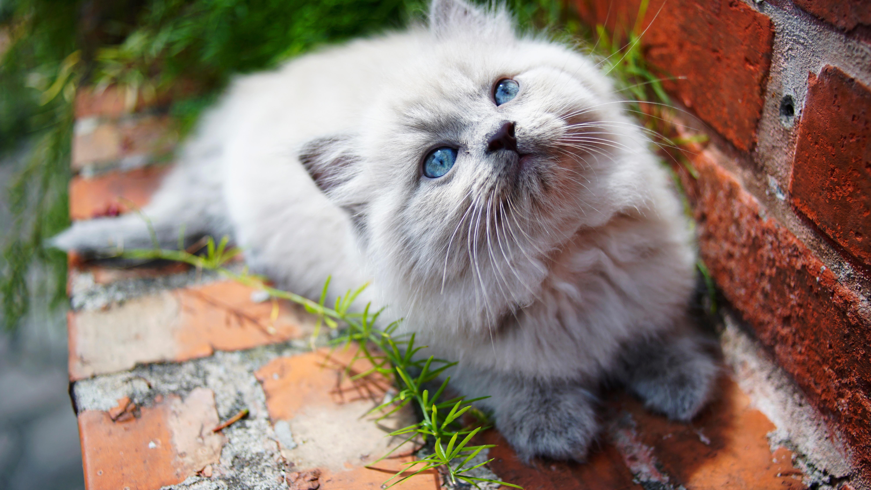 kitty blue eyes 1574938058 - Kitty Blue Eyes -