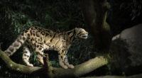 leopard silent walk 1574938077 200x110 - Leopard Silent Walk -