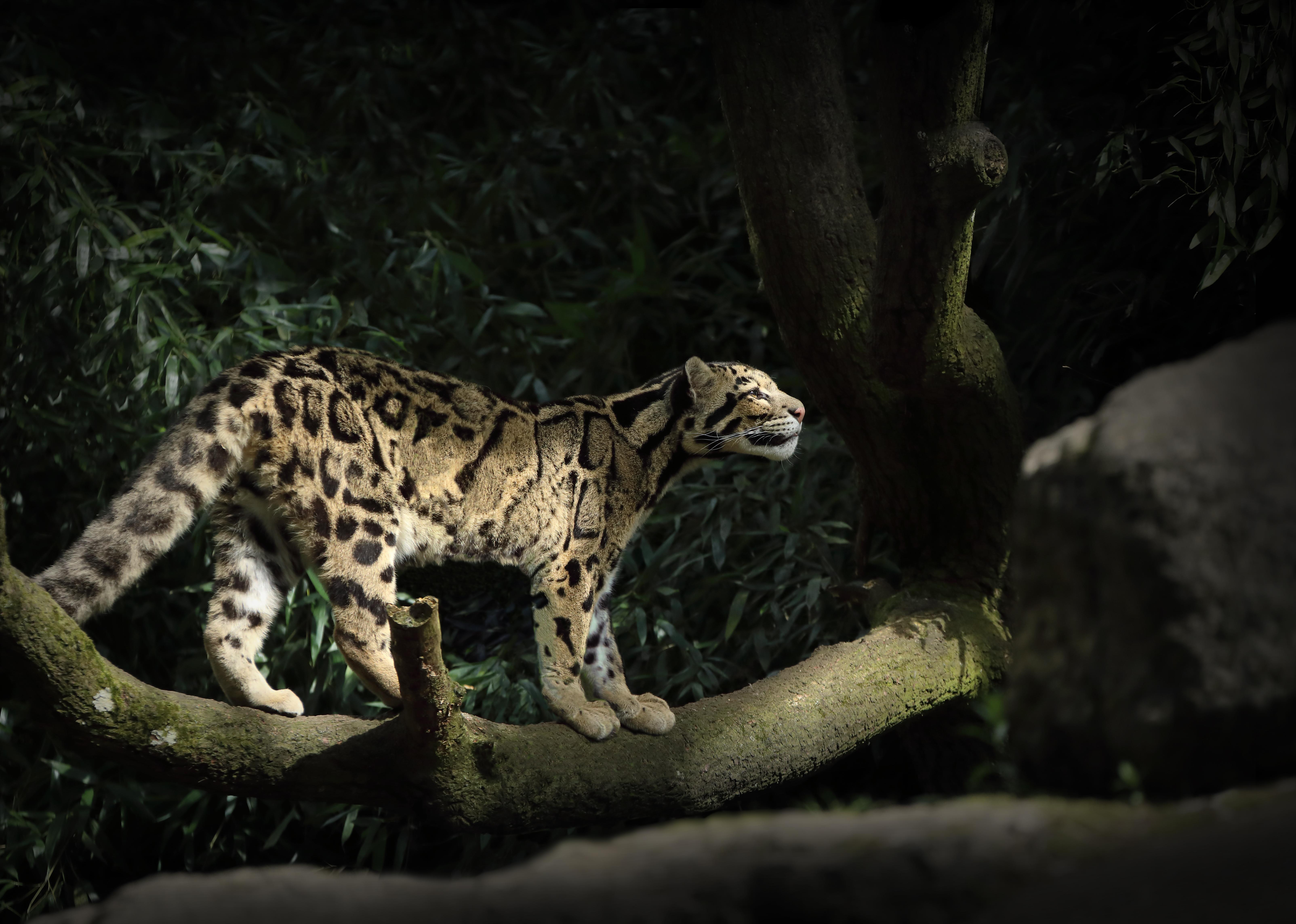 leopard silent walk 1574938077 - Leopard Silent Walk -