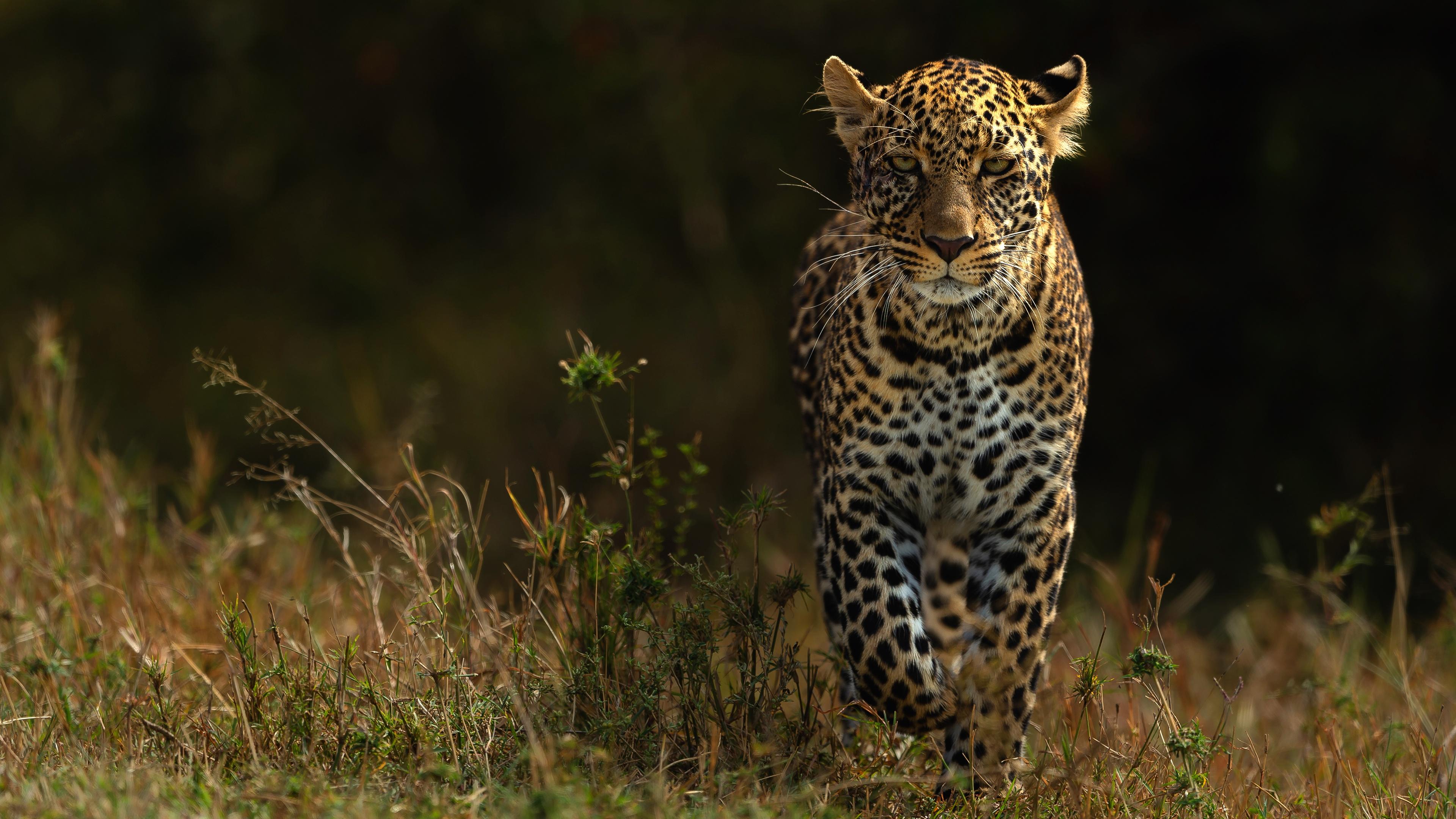 leopards 1574938190 - Leopards -