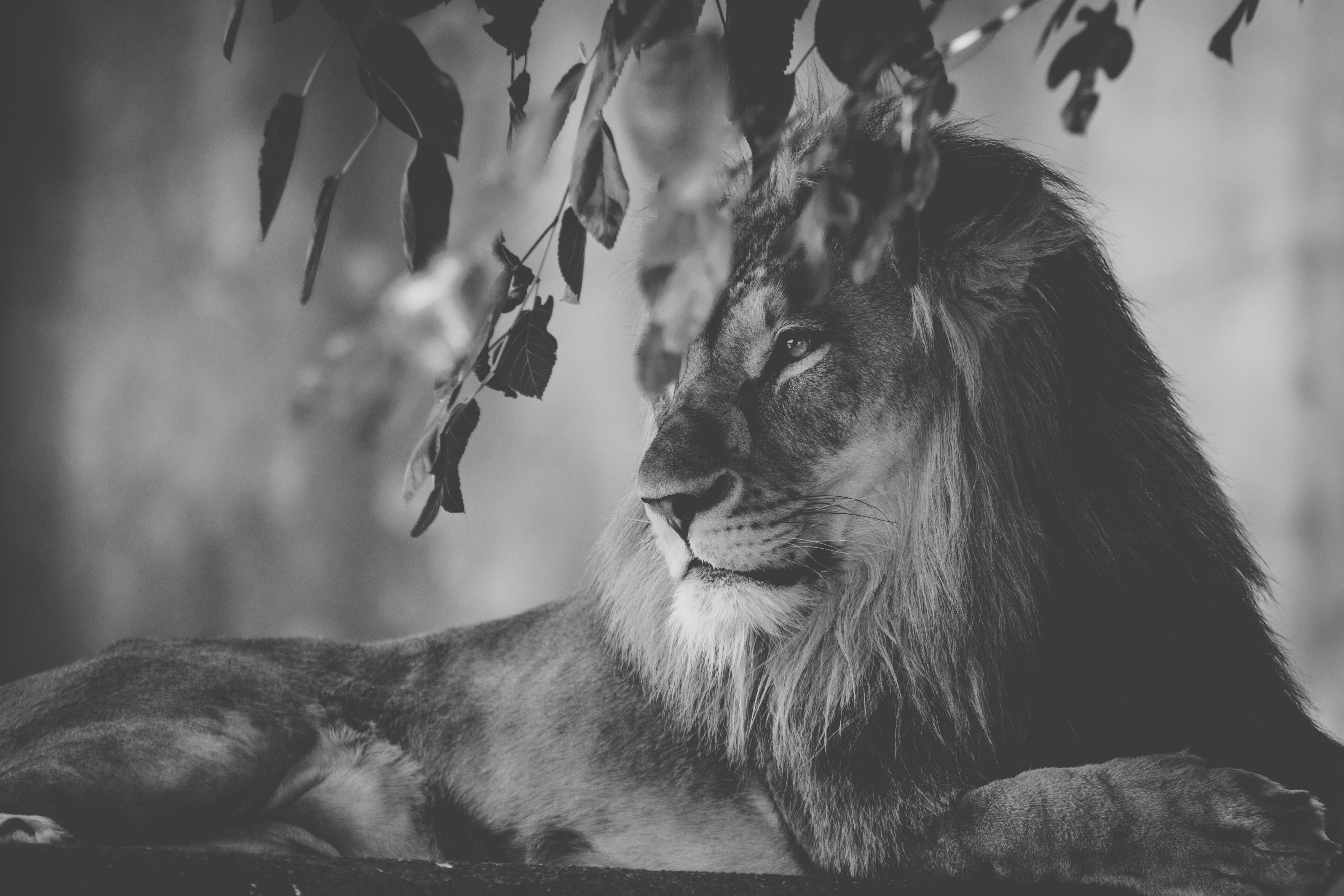 lion monochrome 1574937971 - Lion Monochrome -