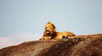 lion open mouth 1574938129 200x110 - Lion Open Mouth -