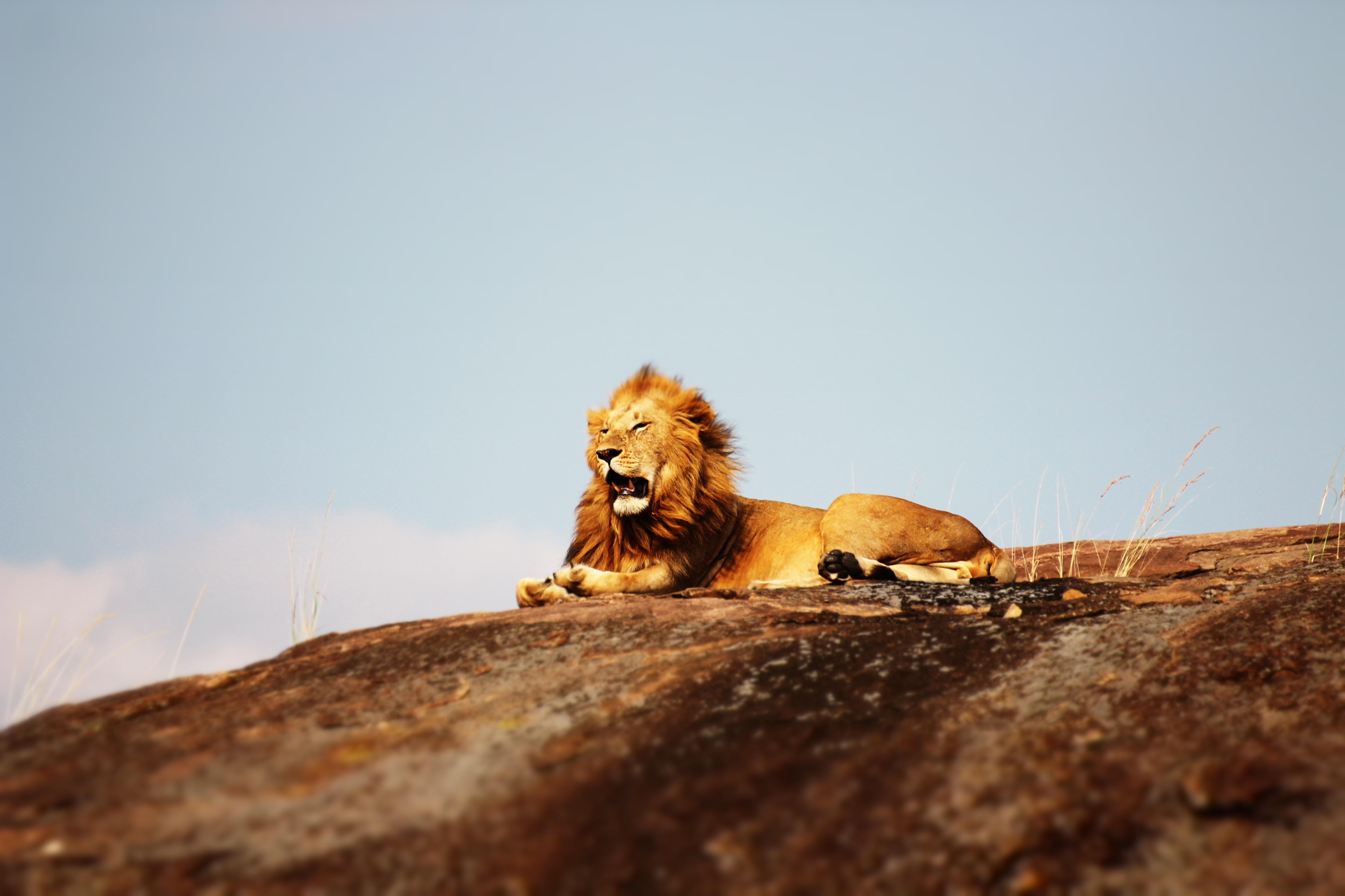 lion open mouth 1574938129 - Lion Open Mouth -