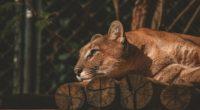 lion resting 1574938086 200x110 - Lion Resting -
