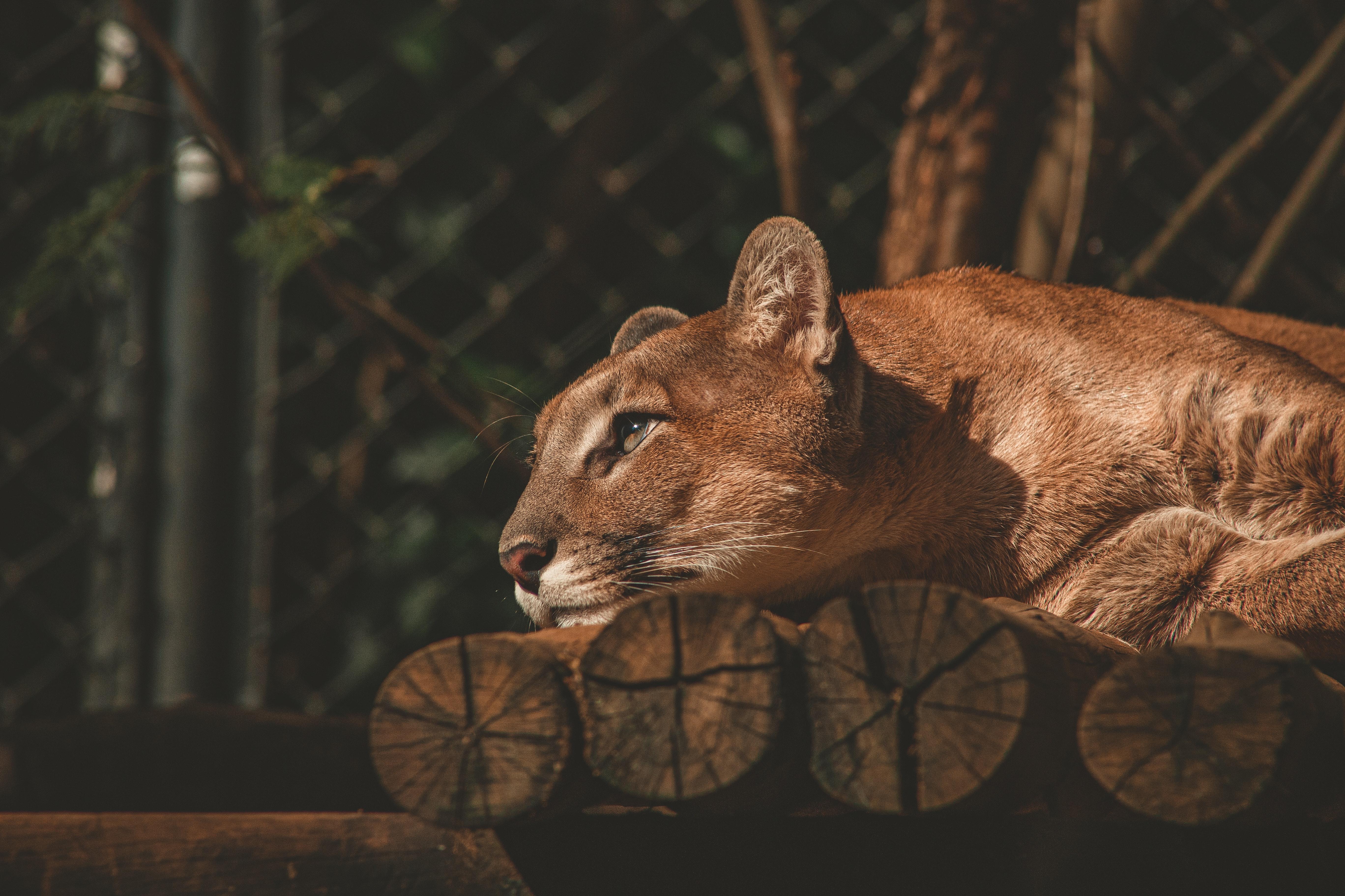 lion resting 1574938086 - Lion Resting -