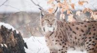 lynxes 1574938036 200x110 - Lynxes -