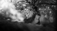 monochrome lion 1574938079 200x110 - Monochrome Lion -