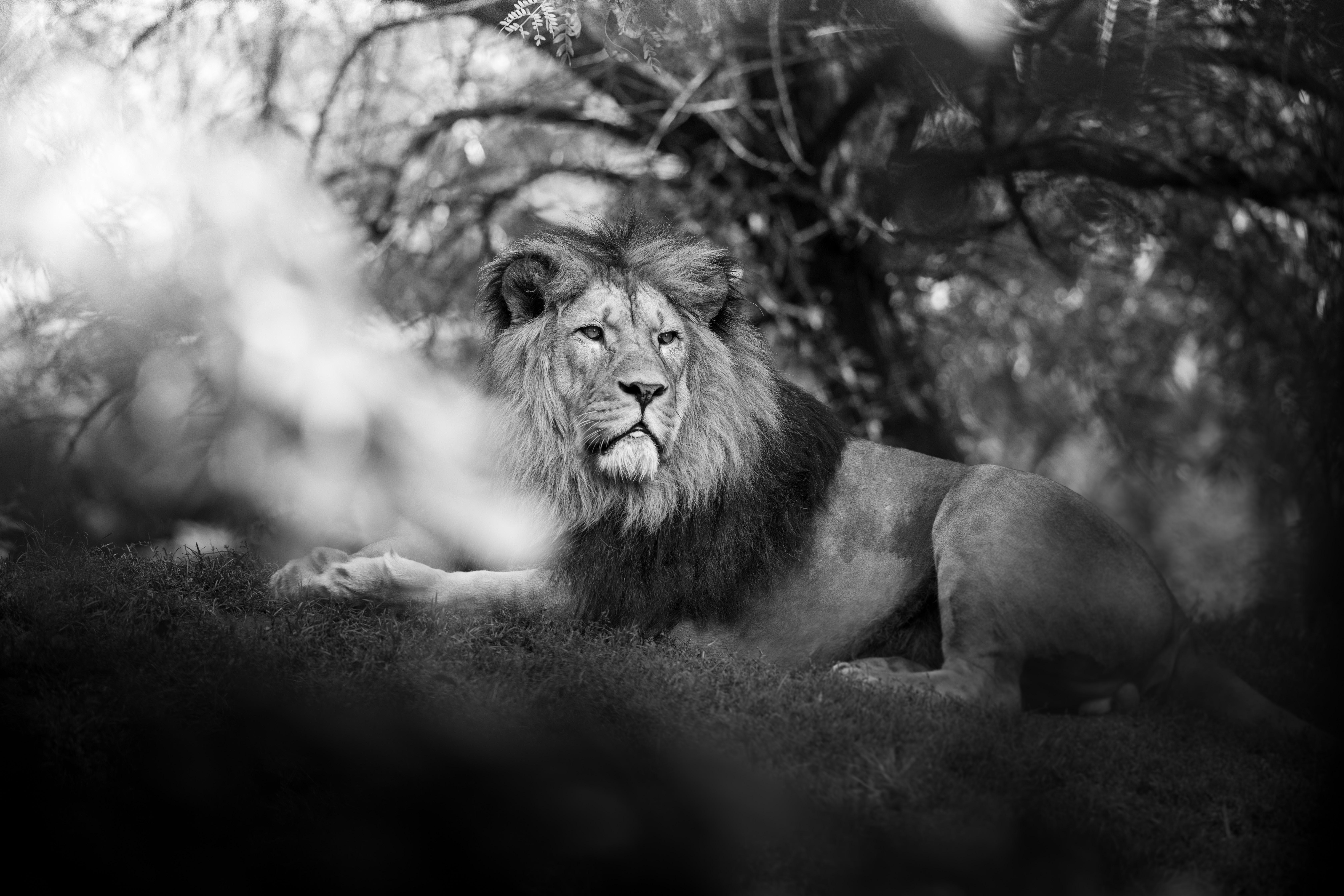 monochrome lion 1574938079 - Monochrome Lion -