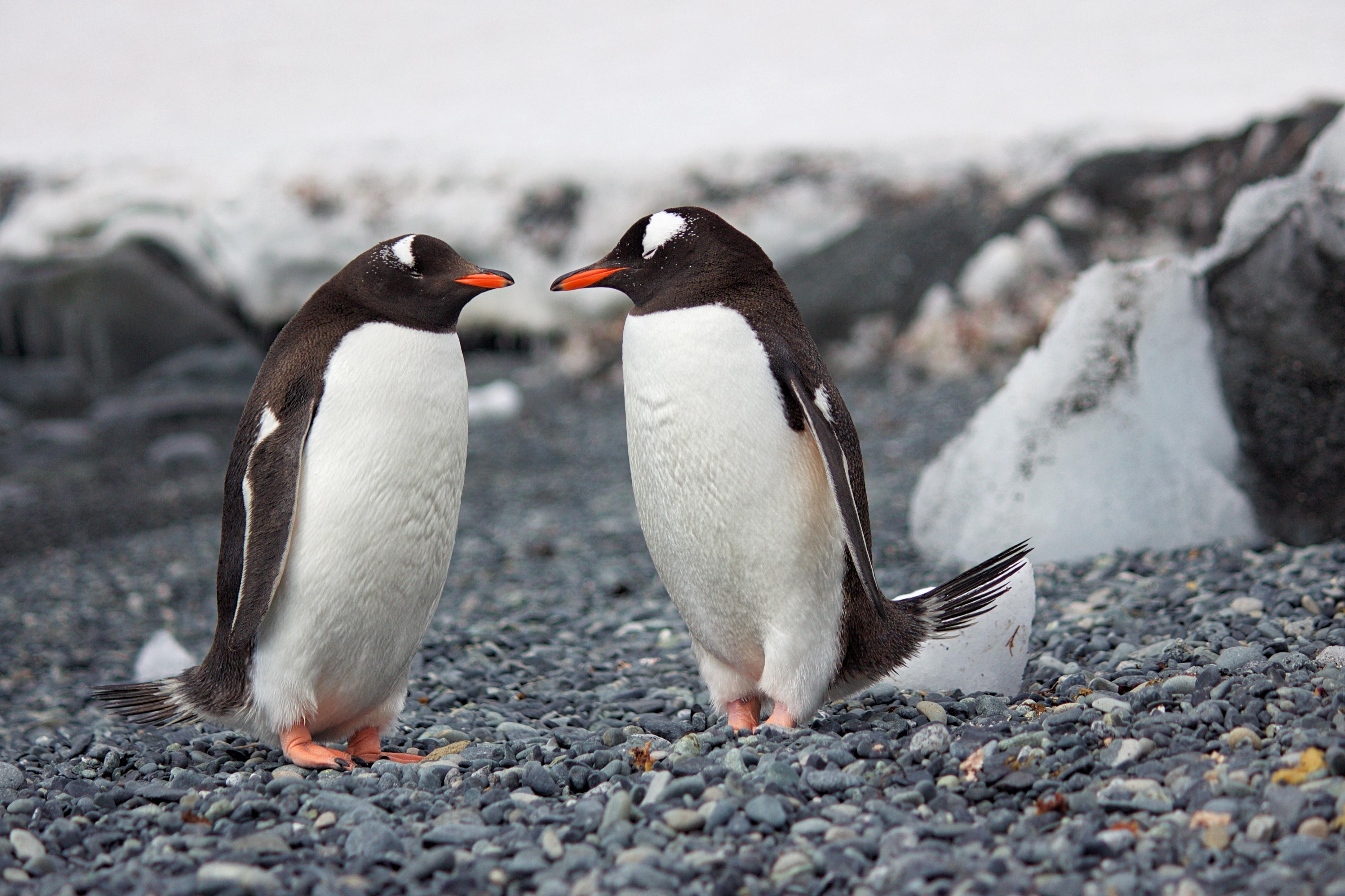 penguins 1574937993 - Penguins -