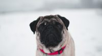 pug in snow 1574937981 200x110 - Pug In Snow -
