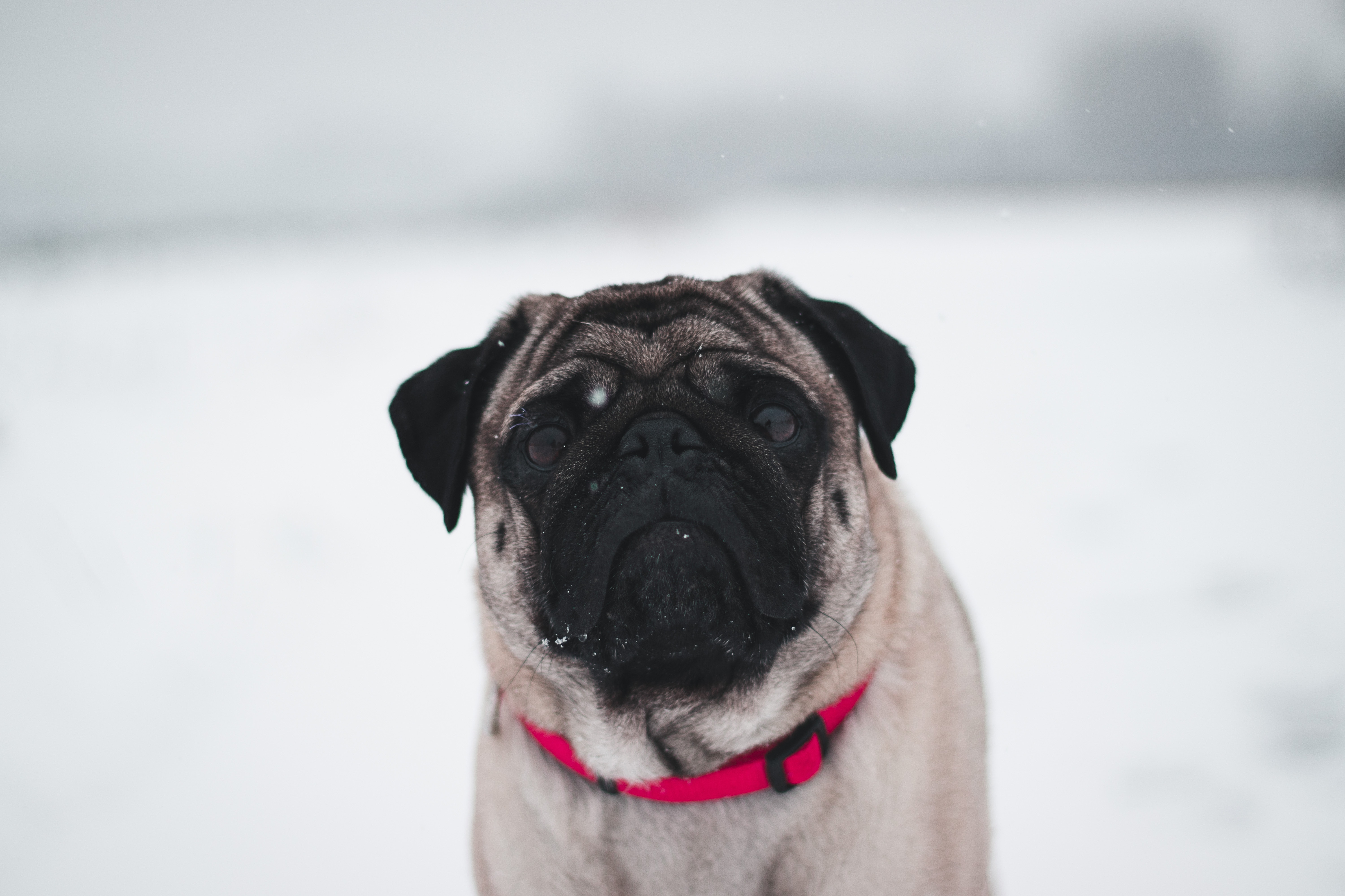 pug in snow 1574937981 - Pug In Snow -