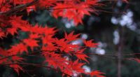red leaves 1574937881 200x110 - Red Leaves -