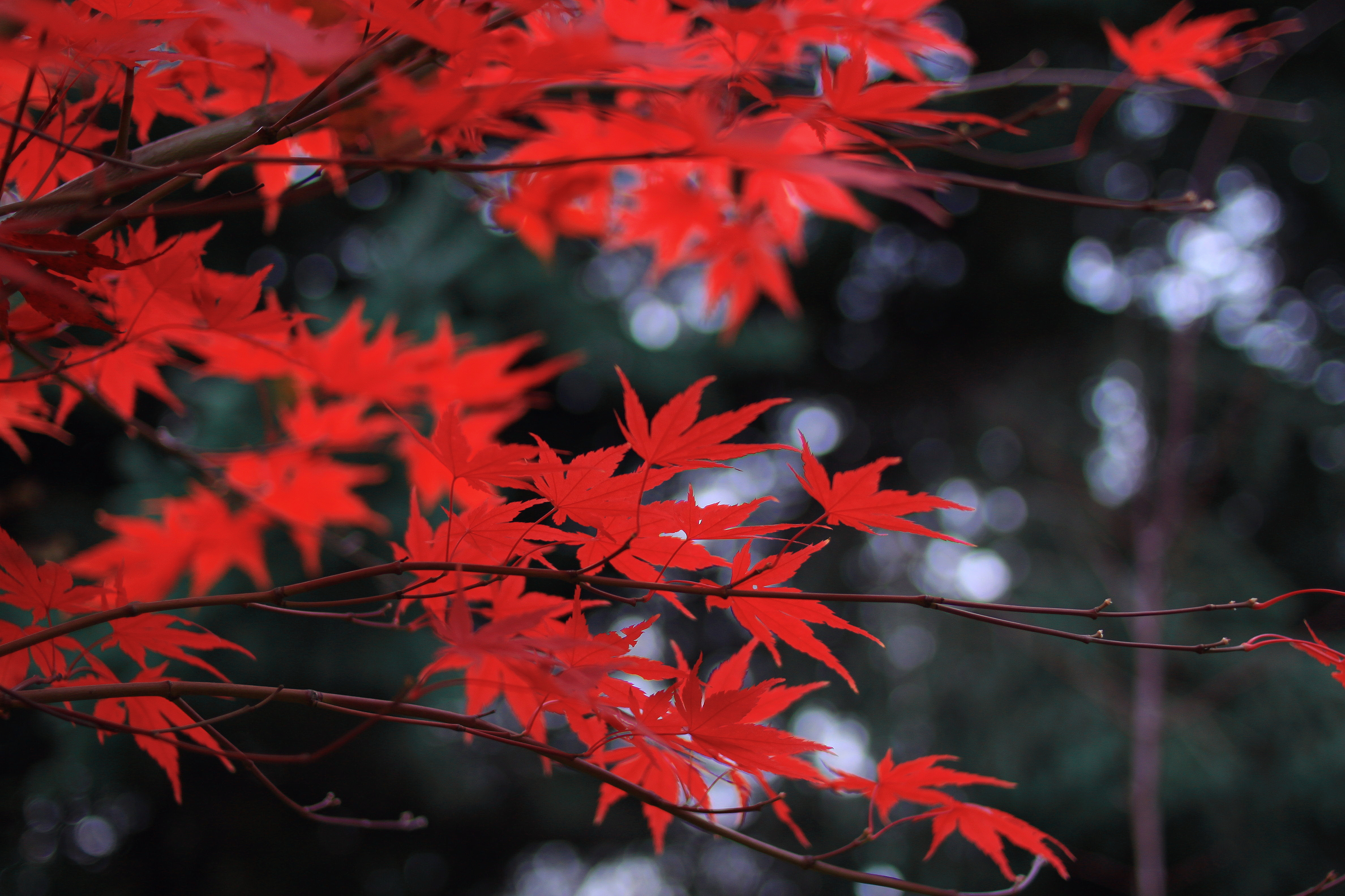 red leaves 1574937881 - Red Leaves -