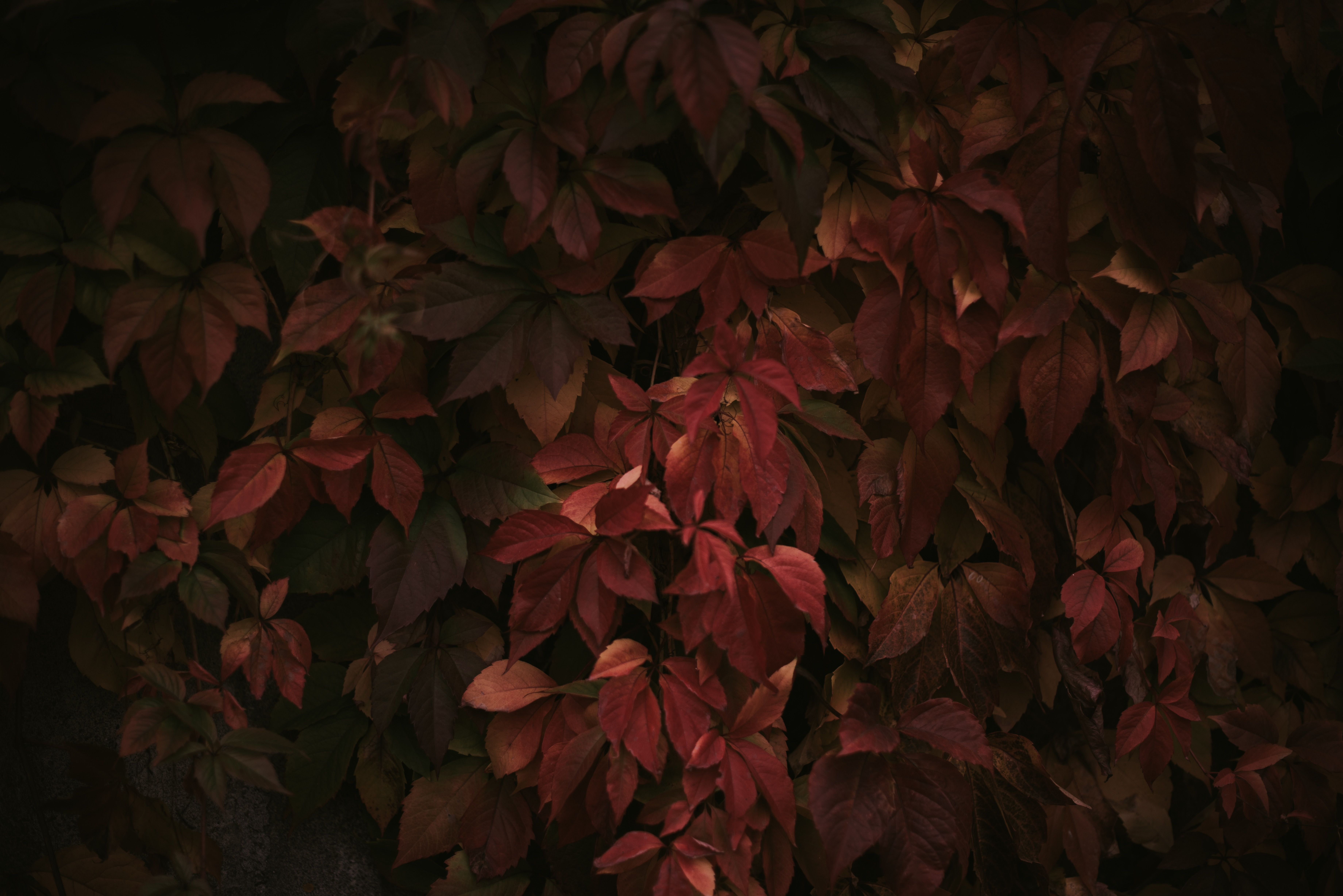 red leaves 1574937888 - Red Leaves -